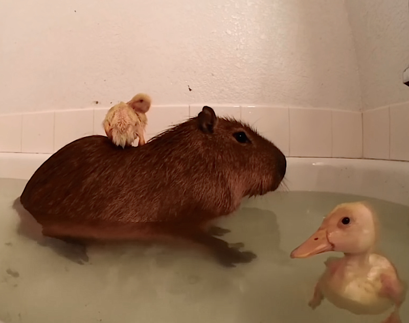 Cuteness Break: Super chill Capybara lets baby ducks hop all over him in the bathtub