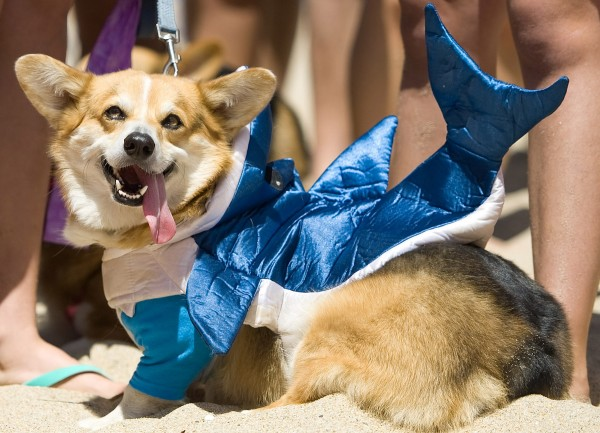 Corgi Beach Day happened—and it was better than we even imagined