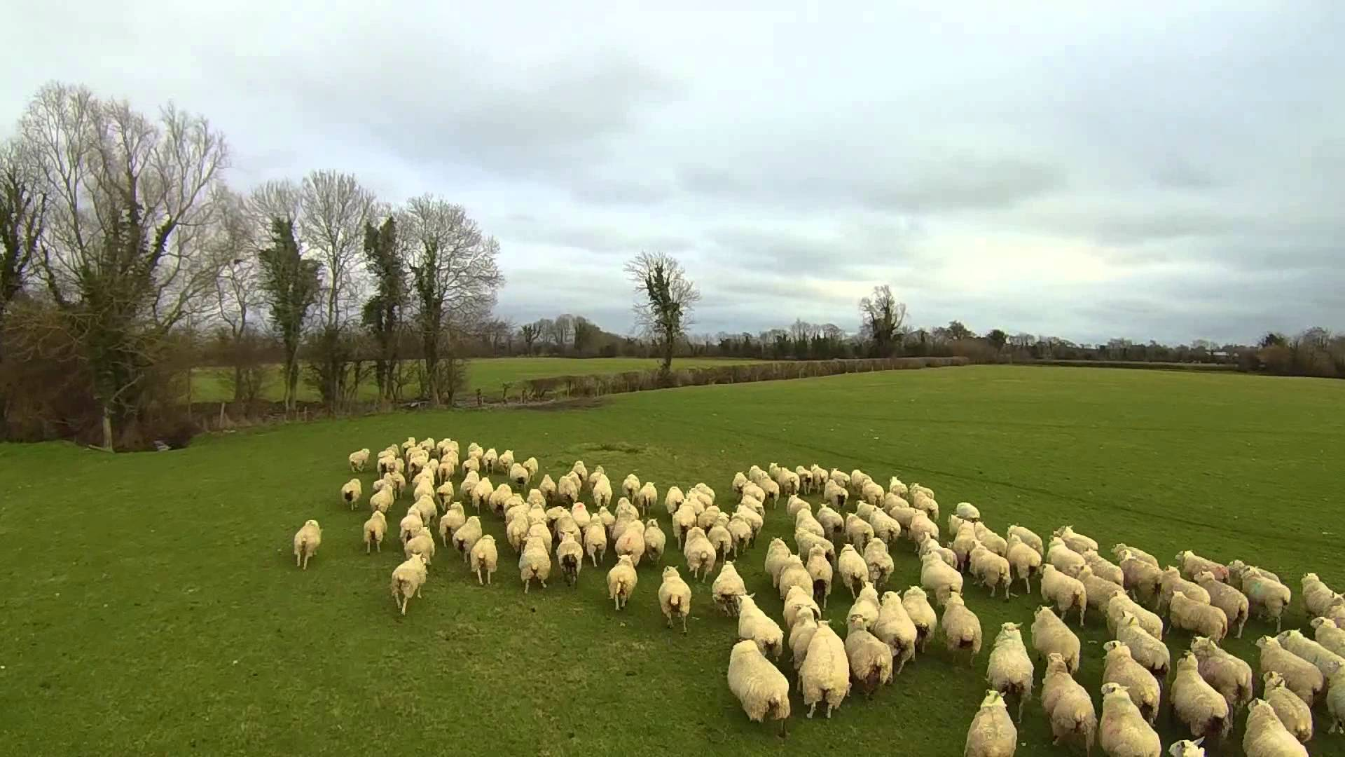 Over in Ireland, a drone named Shep is working like a (sheep)dog