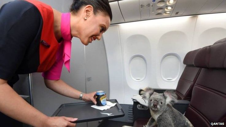 These Koalas only fly first class
