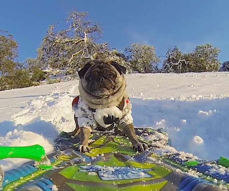 Pug Life: Brandy the Pug shows us her awesome snowboarding skills!