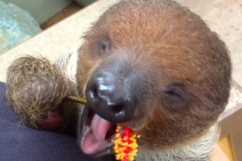 Cuteness Break: Paloma the baby sloth likes to cuddle while she eats hibiscus flowers