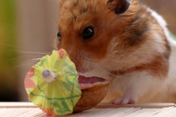 Cuteness Break: This tiny hamster's tiny Tiki party is majorly adorable!