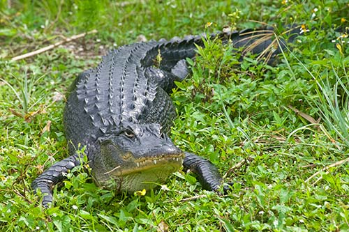Um, there was just an alligator trapped at a high school