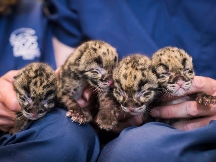 So now we know, newborn leopard quadruplets are the cutest creatures ever
