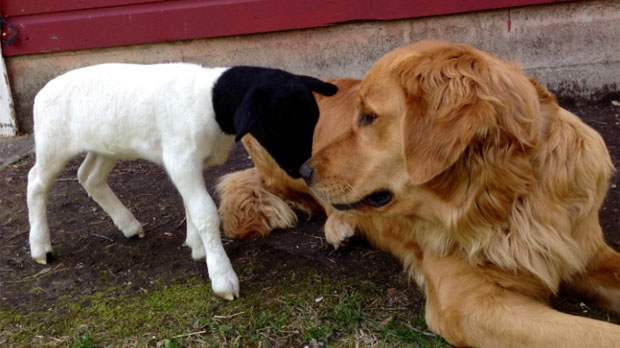 Tammy the golden retriever and Stormy the lamb are besties, because love