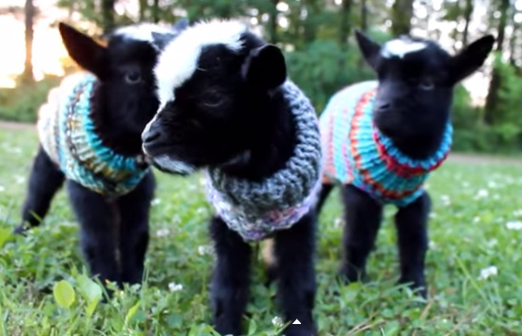 To the person who dressed these baby goats in turtleneck sweaters: Bless you