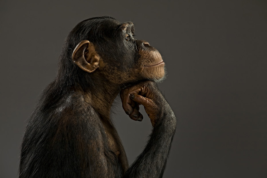 Meanwhile in NYC, a judge is deciding if chimpanzees deserve human rights