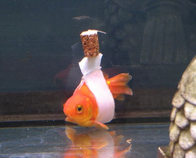 This owner made the sweetest flotation device for his differently-abled goldfish