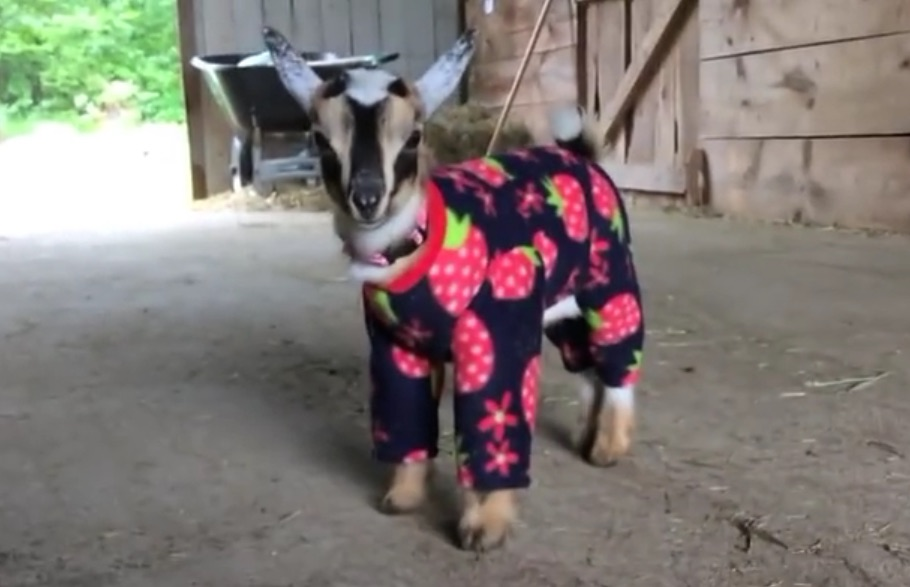These baby goats dancing in pajamas will get you through hump day