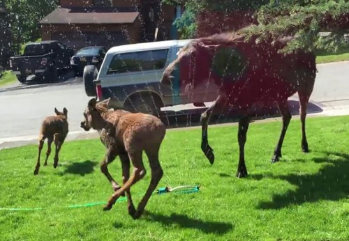 Just 'cause it's Friday: An insanely happy moose family playing in sprinklers