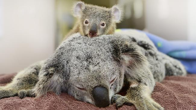 This baby koala who held his injured mom in his koala arms is all of us