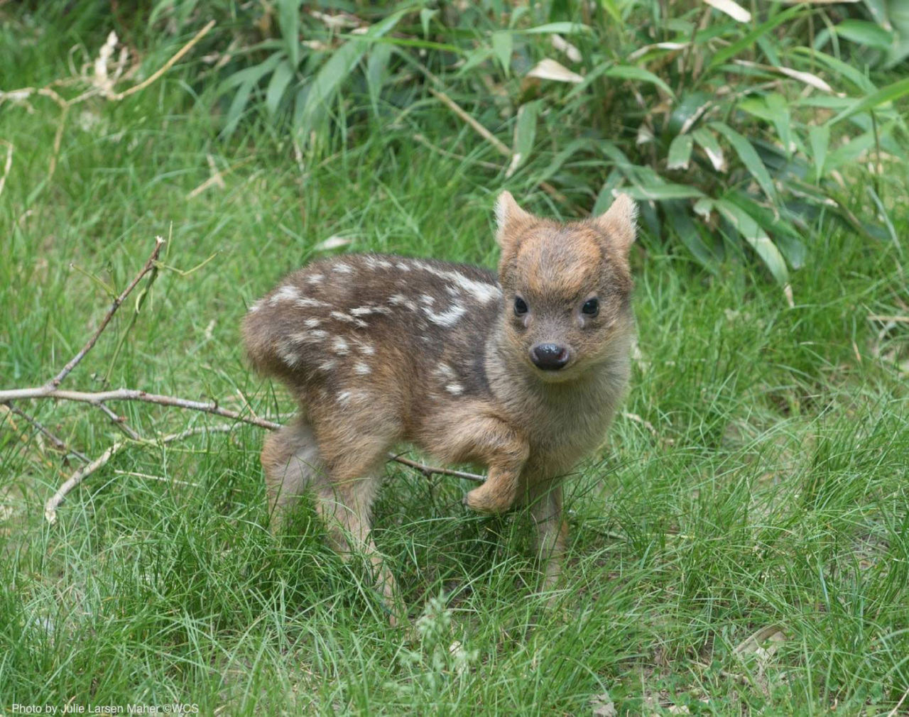Bah! Obsessed! This is the world's tiniest deer!