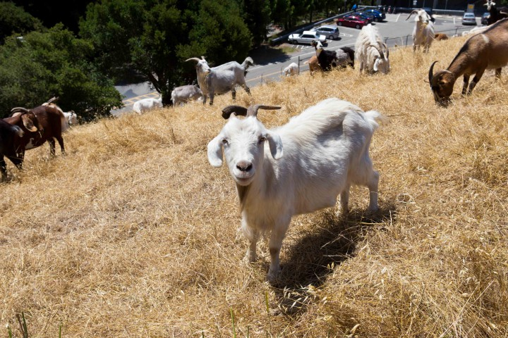 Your animal moment of the day: hundreds of goats getting their morning run on