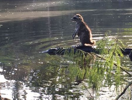 That time a raccoon went surfing on an alligator