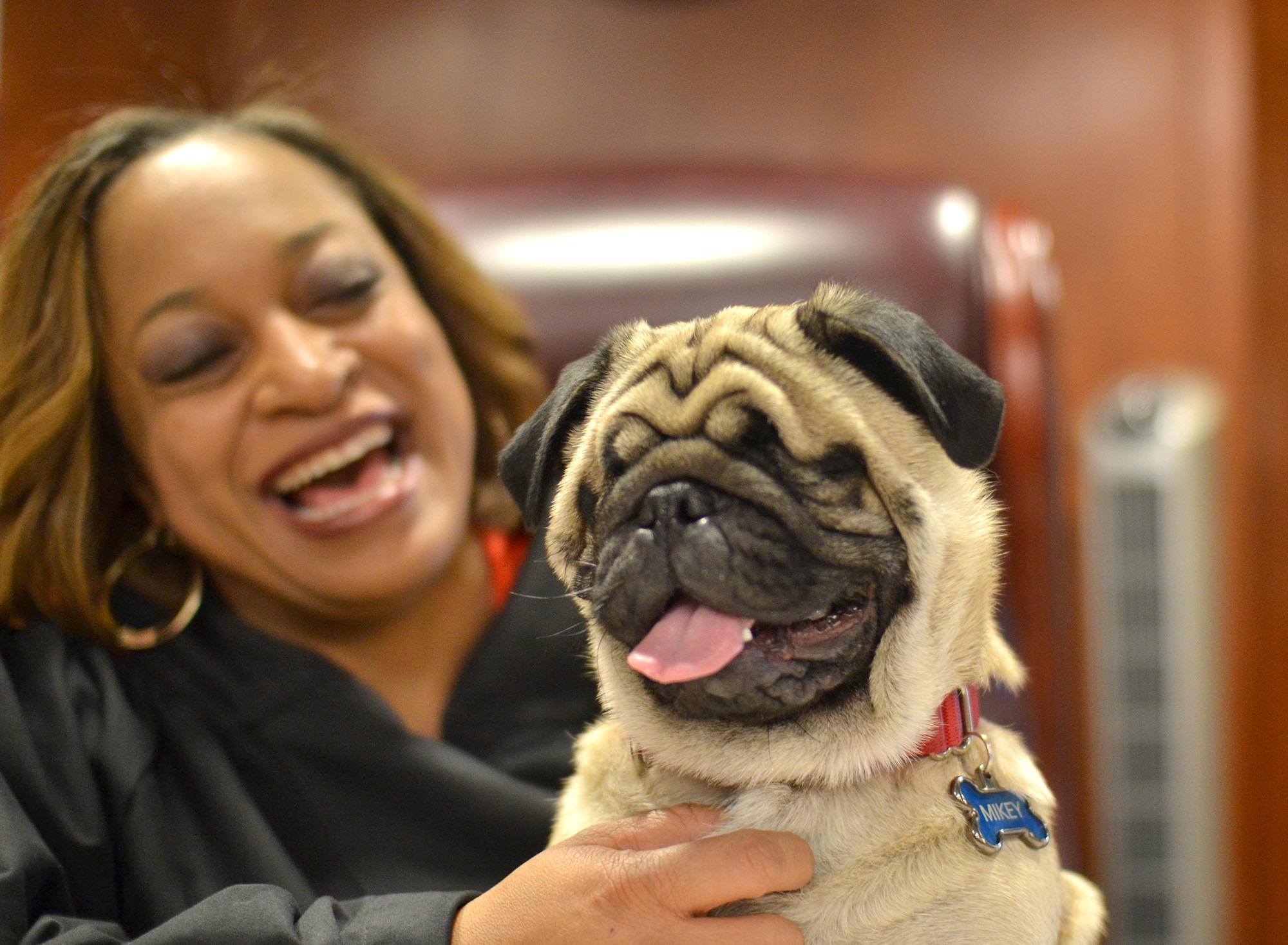 Currently obsessed with this blind pug who goes to court everyday