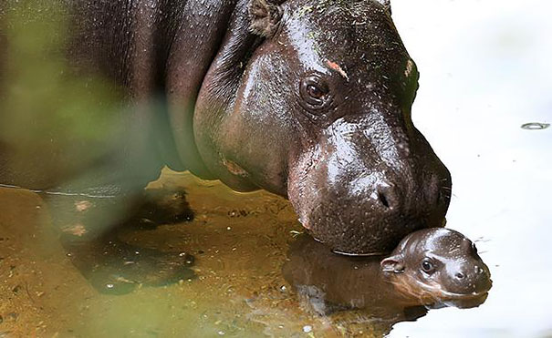 A baby pygmy hippo takes his first swim. Pshah, floaties.