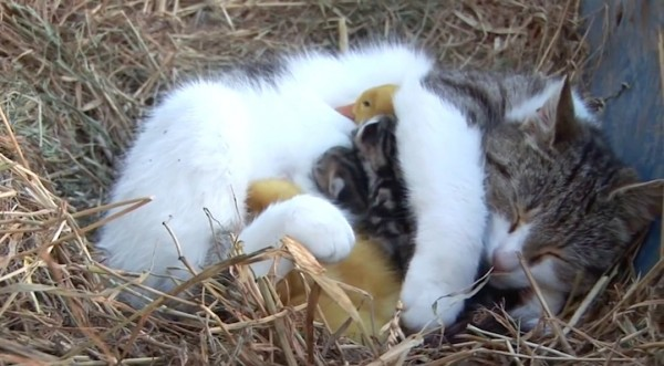 Della the mama cat thinks these ducklings are her babies