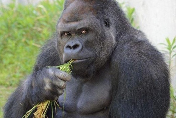 Meet the most handsome gorilla in the world