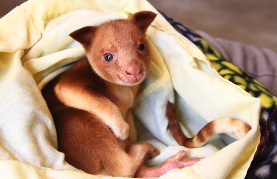 Orphaned kangaroo adopted by wallaby mama. Our hearts!