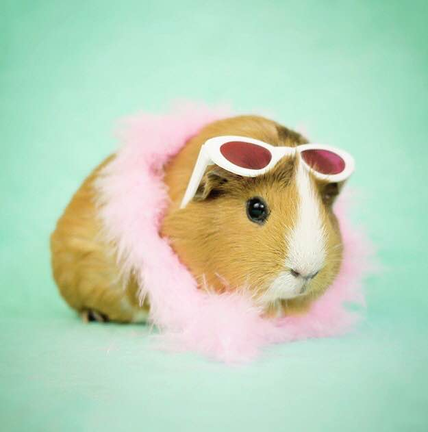 Fuzzberta the guinea pig is our latest cute animal obsession