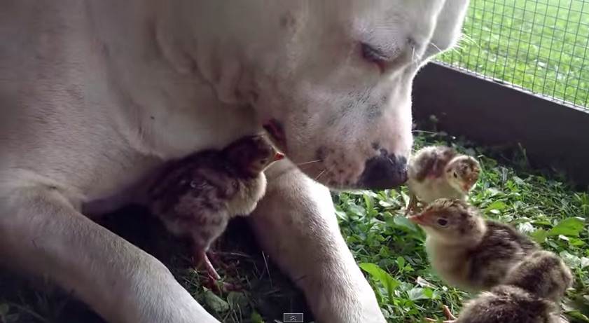 We're in love with this pit bull whose BFFs are a bunch of baby birds