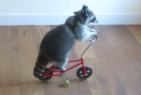 Melanie the raccoon can ride bikes, and scooters, and skateboards