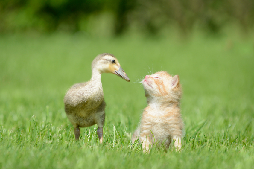 Cats who secretly love ducks—but Shhh, don't tell anyone