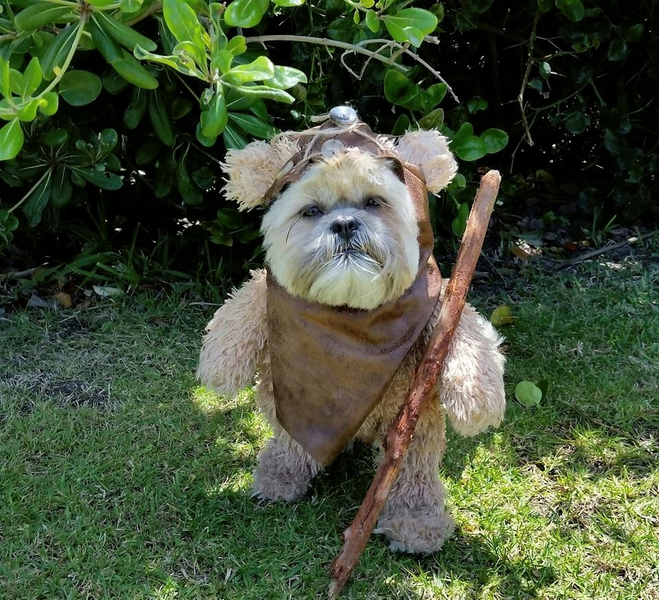 Munchkin the dog has gone full Ewok — and it's as adorable as you'd expect