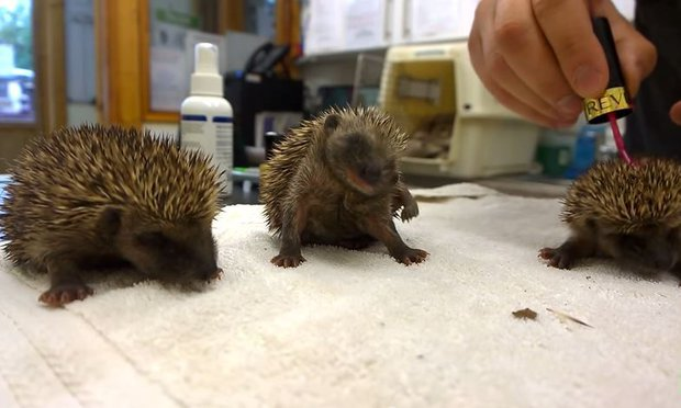 Baby hedgehogs sneezing annnnnd we're crying