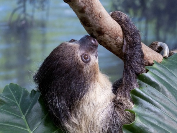Charlotte Greenie the two-toed sloth moves to Denver and finds love. Awwww.