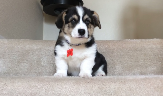 This tiny corgi puppy going down the stairs is all of us