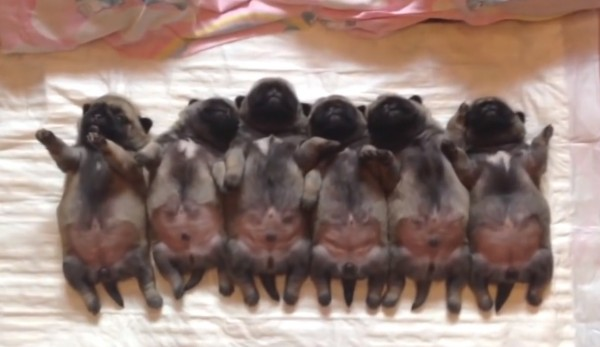 We'll be watching this row of sleeping pugs ALL DAY LONG