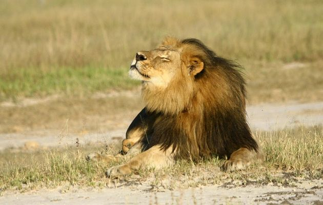 We're all still heartbroken about Cecil the Lion, but we just received a hopeful piece of news