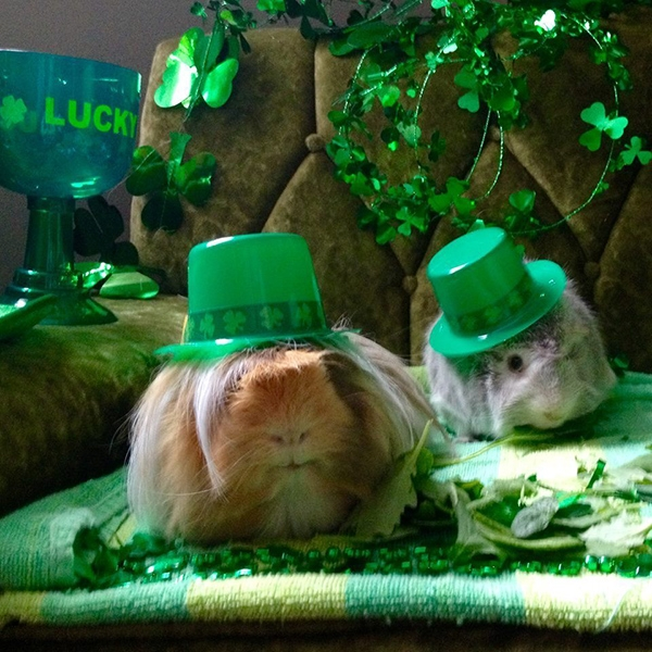 These guinea pigs hilariously dress up for every single major holiday