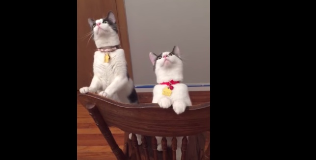 These cats are obsessed with this ceiling fan and now we're obsessed with these cats