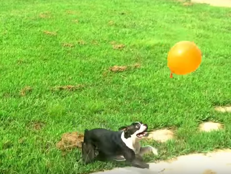Rose the dog has truly incredible balloon skills