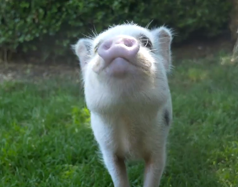 Frolicking baby pigs are the cutest thing you'll see today
