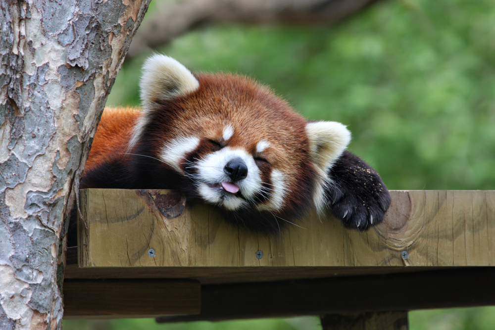 Let's talk about what we can do to help red pandas