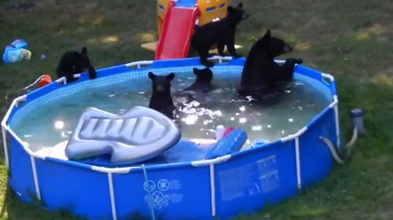 Family of bears throw a backyard pool party. NBD.