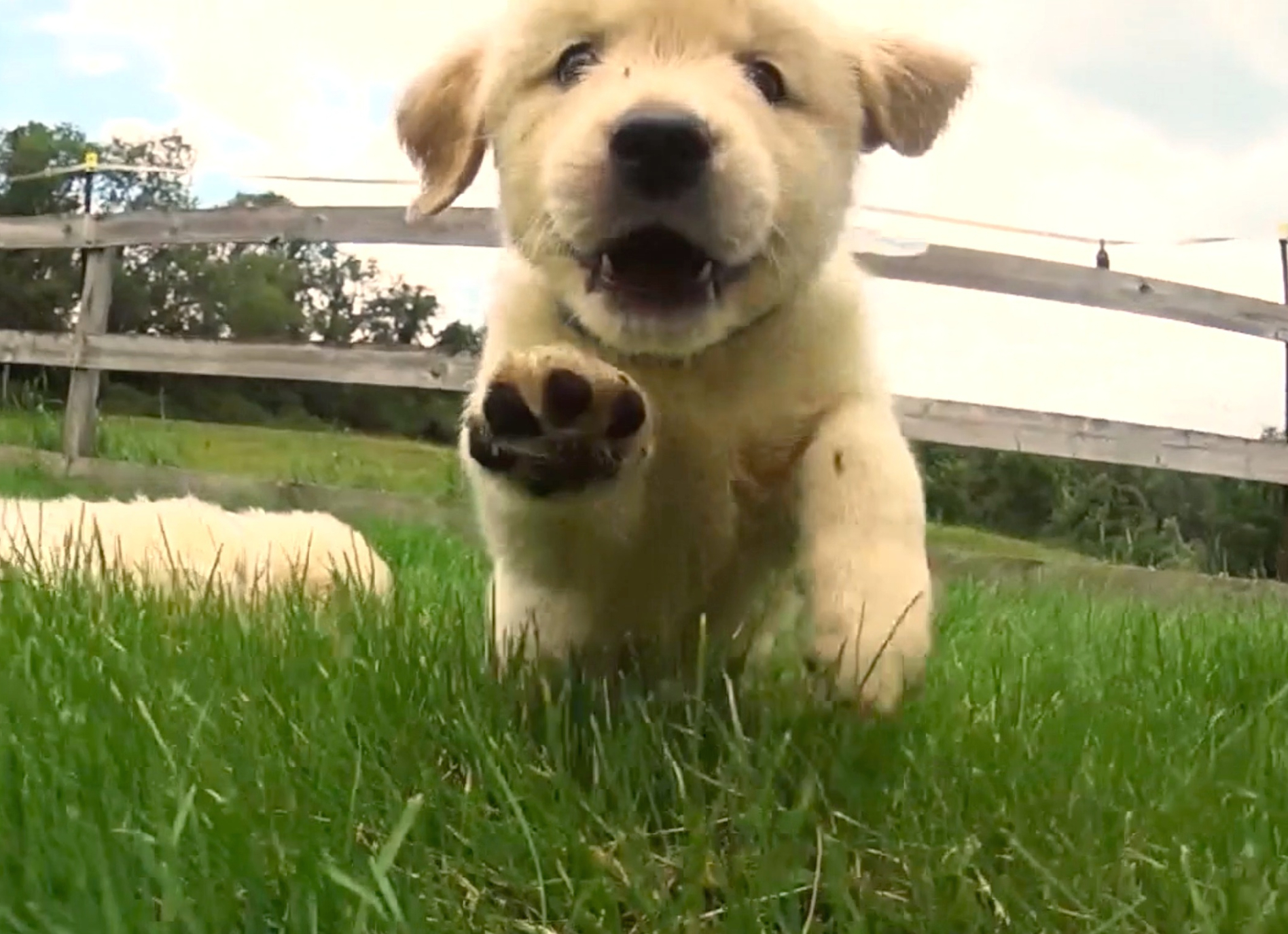 Cuteness Break: Watch 21 Golden Retriever Puppies Go On An Adorable Adventure!