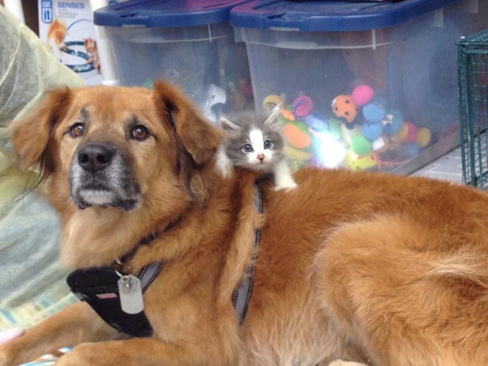 This sweet dog is a nanny for orphaned kittens. Our hearts can't take it.