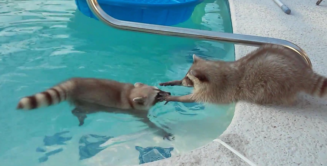 Raccoon goes for a swim, majorly stresses his brother out