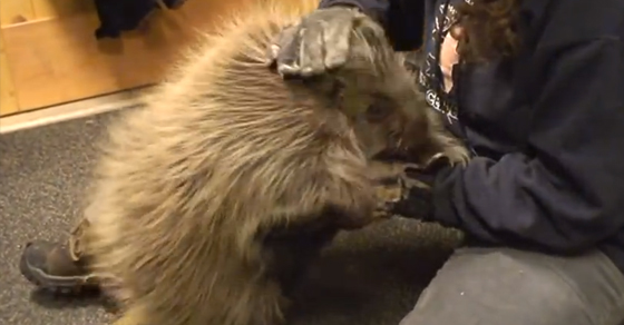 We are madly in love with this porcupine who thinks he's a puppy