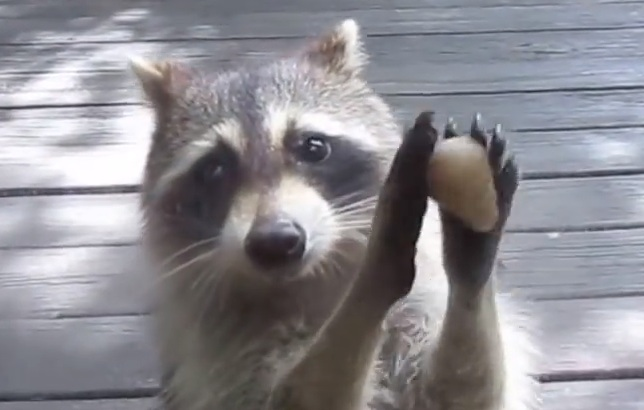 Here's a raccoon politely asking for snacks, because it's Thursday