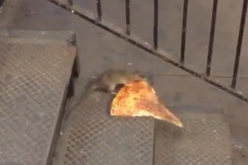 Here's a rat carrying a slice of pizza. We kind of get it.