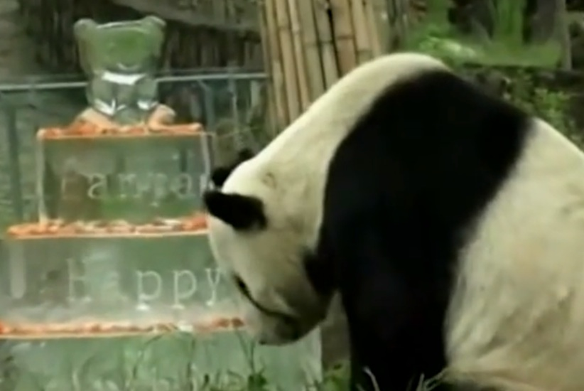 Watch this Panda celebrate its 30th birthday, but only if you like adorable things