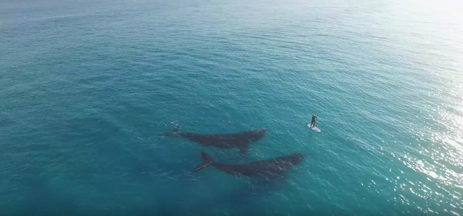 Here's a guy paddleboarding with two whales, as one does
