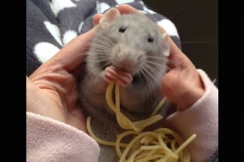 Forget about Pizza Rat. We're in love with Spaghetti Rat