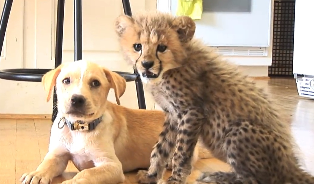 A tale of two besties (cheetah and puppy besties, that is)